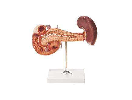 ZM1076-1 胰、十二指肠和脾