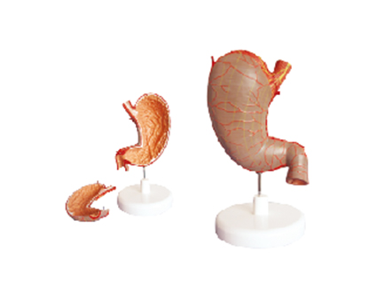 ZM1070-1 胃解剖模型