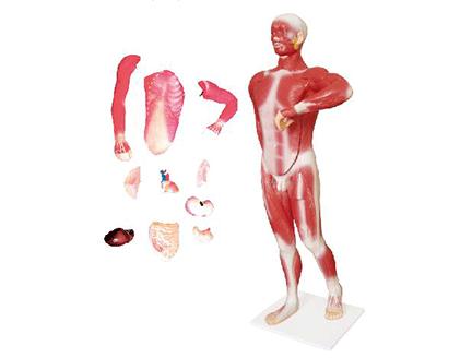 ZM1068 人体肌肉及胸腹腔脏器解剖模型