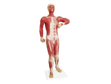 ZM1067 人体浅层运动肌肉模型