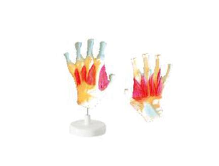 ZM1062  手骨间肌模型