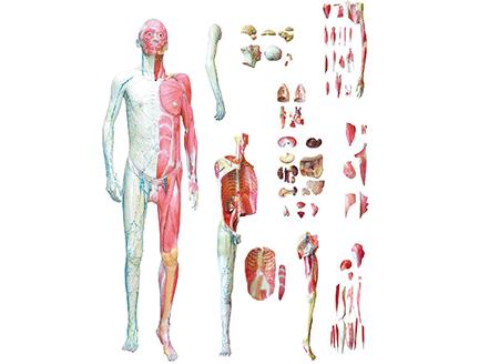 ZM1043-3 人体层次解剖模型示教台
