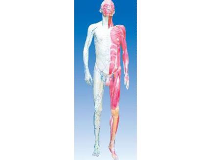 ZM1043 人体层次解剖模型