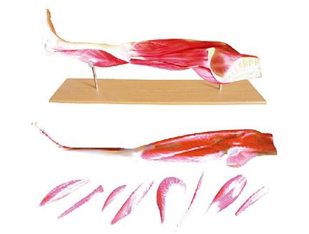 ZM1042-3 下肢肌肉模型
