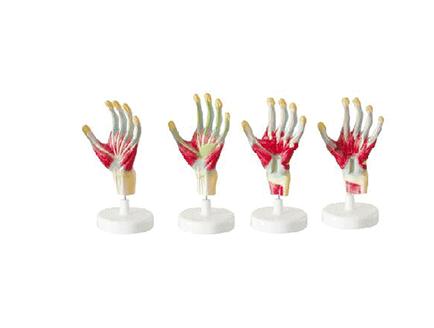 ZM1041 手肌解剖模型