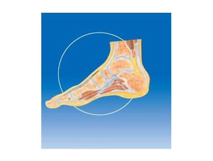 ZM1036-2 踝关节剖面模型