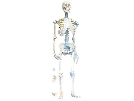ZM1033 人体骨连接模型