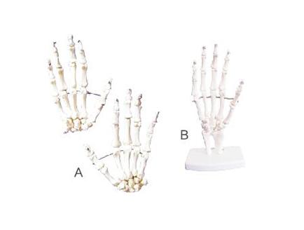 ZM1026-1 学生用手骨模型