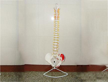 ZM1023-9 脊椎带骨盆腿骨附肌肉模型