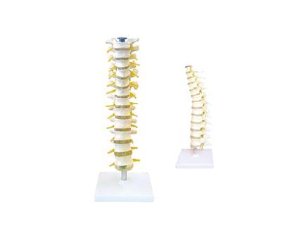 ZM1022 胸椎与脊神经模型