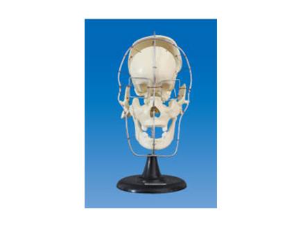 ZM1008 颅骨骨性分离模型