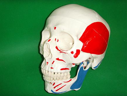 ZM1006 头颅骨附肌肉着色模型