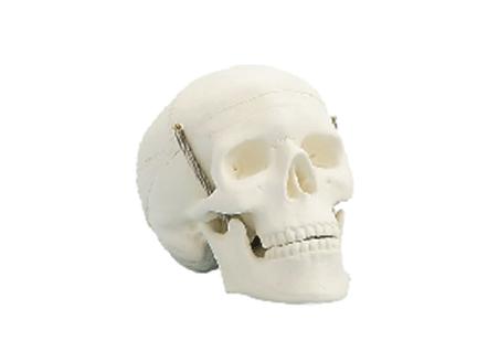ZM1005-1 学生用头颅骨模型