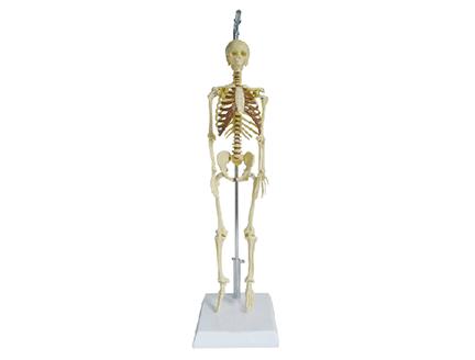 ZM1004 人体骨骼模型