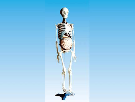 ZM1003-2 人体骨骼与内脏关系模型