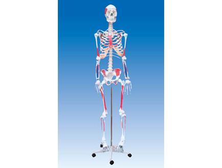 ZM1001-3 人体骨骼附肌肉附着点着色模型