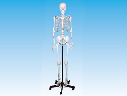 ZM1001-1 男性全身骨骼模型