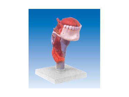 ZM1079-2 喉连舌、牙模型