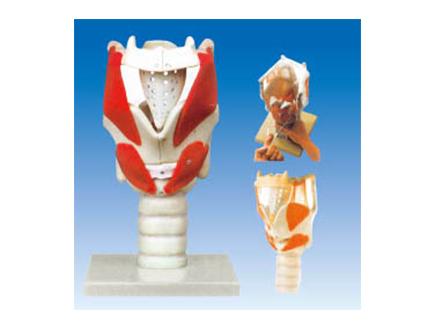 ZM1079-3 喉结构与功能放大