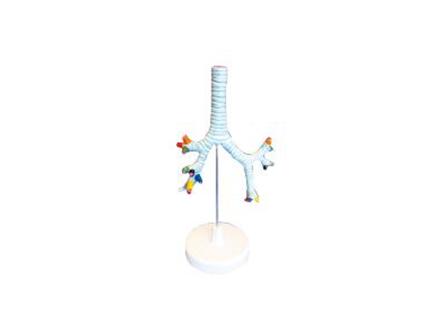 ZM1080 气管、支气管及肺段支气管