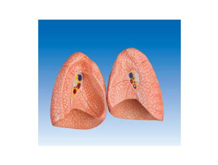 ZM1081-1 肺模型