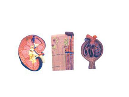 ZM1089-2 肾脏、肾单位、肾小球放大模型