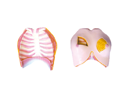 ZM1113 乳房解剖
