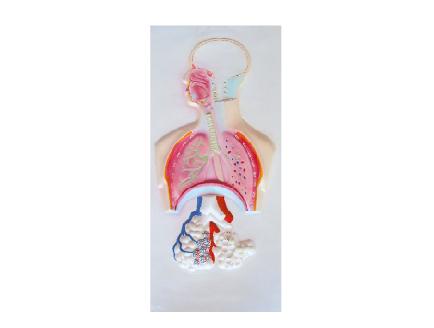 ZM1118-3 人体呼吸系统浮雕
