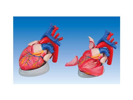ZM1119 心脏解剖放大