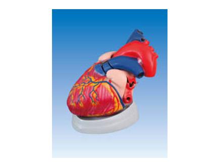 ZM1119-3 心脏解剖放大