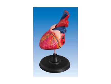 ZM1119-5 心脏解剖