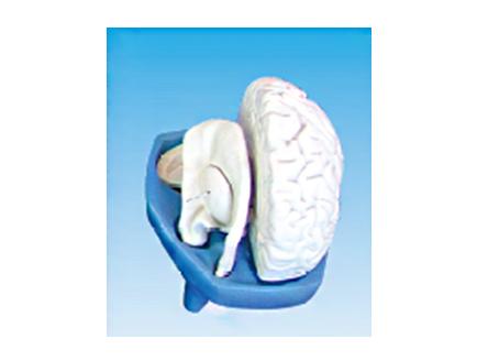 ZM1147-2 脑纤维束解剖模型