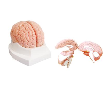 ZM1163 脑解剖