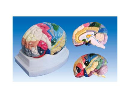 ZM1164 大脑剖面模型