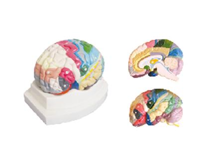 ZM1165 大脑皮质分区模型