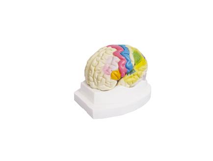 ZM1166 大脑皮质功能定位