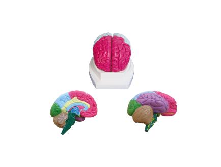 ZM1167 大脑分叶模型