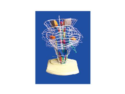 ZM1169-1 脑干、脑神经核及脑神经