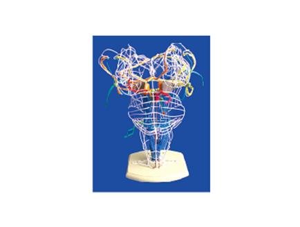 ZM1169-5 视听觉和深感觉传导束