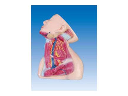 ZM1183-3 颈部深层神经和血管模型