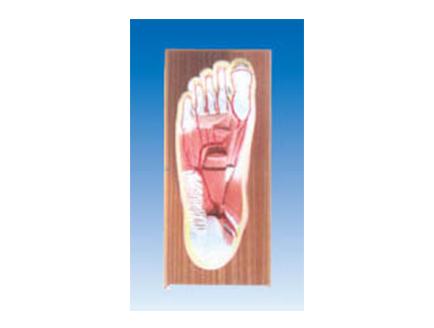 ZM1191 足底解剖及足底动脉分支