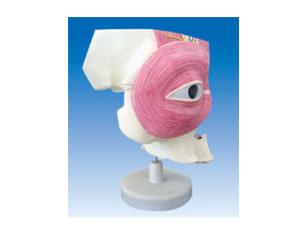 ZM1200 眼眶及眼周解剖
