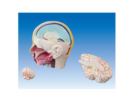ZM1214 头部解剖附脑模型