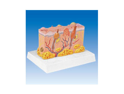ZM2097 立体病理皮肤