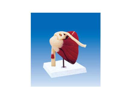 ZM2074 肩关节附肌肉、韧带模型