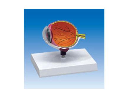 ZM2038 右眼球半边解剖