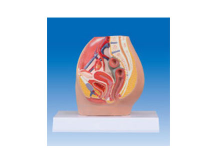 ZM2050 女性盆腔解剖模型