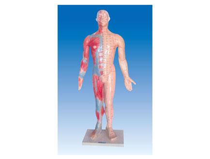 ZM3020 人体针灸模型