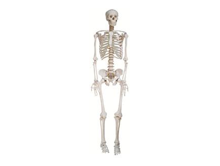 ZMJY/A0001 全身骨骼模型(男)