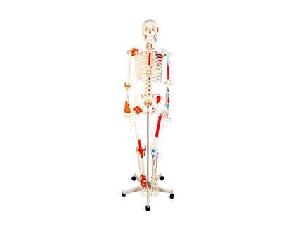 ZMJY/A0005 人类骨骼半身肌肉模型
